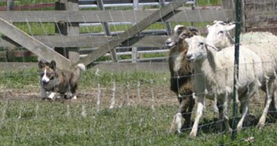 Herding+sheep+1.jpg (20007 bytes)